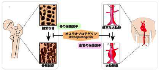 図1 オステオプロテゲリンの働き